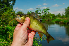 Fish perch Stock Images