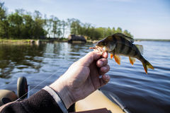 Fish perch in the hand of angler Royalty Free Stock Photo