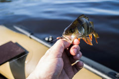 Fish perch in the hand of angler Stock Images