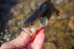 Fish perch in the hand of angler Stock Photography