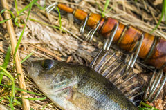 Fish perch with old fishing tackle Stock Photography