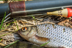 fish perch,roach and bream with old fishing tackle Stock Photography