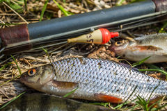 fish perch,roach and bream with old fishing tackle Royalty Free Stock Image
