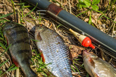 fish perch,roach and bream with old fishing tackle Stock Photos