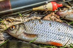 fish perch,roach and bream with old fishing tackle Royalty Free Stock Photo