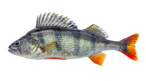 Fish perch with scales, fresh raw isolated.  Royalty Free Stock Images