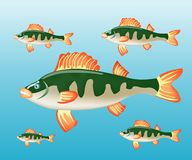 Fish perch in water Royalty Free Stock Photography