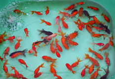 Fish for Pets. Little fish Orange color for Pets pond Stock Photo