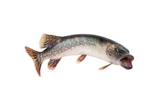 Fish. Pike. Big pike isolated on white background. Big riwer fish Stock Photo