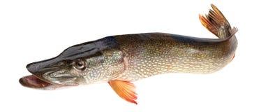 Fish pike. Crude, fresh fish (pike), close up on a white background Stock Photo