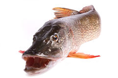 Fish pike Stock Images