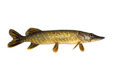 Fish pike. Beautiful pike on white background Royalty Free Stock Photos