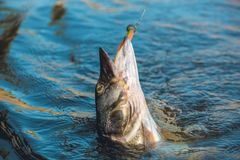 Fish pike caught on a hook. In a freshwater pond Royalty Free Stock Photography