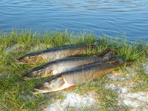 Fish pike. Fishing catch on the river Ob Royalty Free Stock Photo