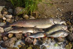 Fish pike, and perch Stock Images
