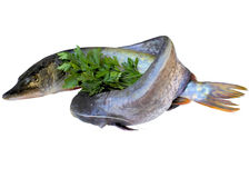 Fish pike and som. Stock Photo