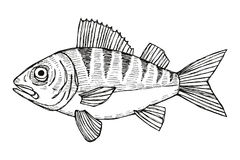 Fish pikeperch vector. hand drawing isolated Stock Photography