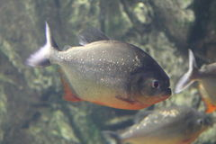 Fish  piranha in aquarium Royalty Free Stock Photography