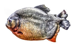 Fish piranha isolated on white background. Fish piranha isolated on white background Stock Images