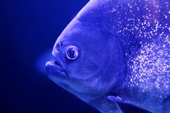 Fish piranha macro face detail blue color water. Background Stock Images