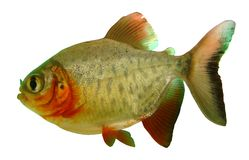 Fish piranha Red paku of Colossoma bidens. Aquarium herbivorous and predatory stock images