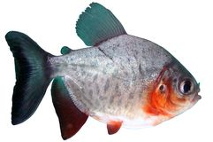 Fish piranha Red paku of Colossoma bidens. Aquarium herbivorous and predatory stock photos