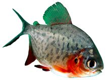 Fish piranha Red paku of Colossoma bidens. Aquarium herbivorous and predatory Stock Photos