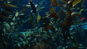 Fish and plant life underwater. Colorful fish swim in an aquarium around underwater plants stock footage
