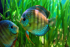 Fish. Planted aquarium with beautiful fish Stock Photography