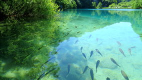 Fish in the Plitvice Lakes, Croatia Royalty Free Stock Images