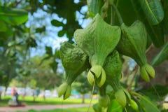 The fish poison tree or sea poison tree. Fruit of the fish poison tree or sea poison tree Royalty Free Stock Image