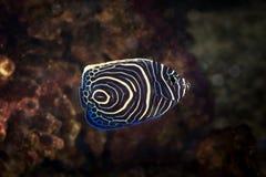 Fish. Pomacanthus navarchus blue girdled angel sea fish Stock Photography
