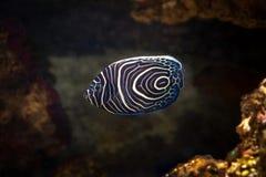 Fish. Pomacanthus navarchus blue girdled angel sea fish. Pomacanthus navarchus blue girdled angel sea fish stock photography