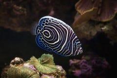 Fish. Pomacanthus navarchus blue girdled angel sea fish. Pomacanthus navarchus blue girdled angel sea fish stock images