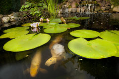 Fish in a pond. Carp fish in a pond with plants and waterfall Stock Photography