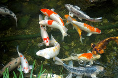Fish in a pond. Fishes at pond underwater Royalty Free Stock Image