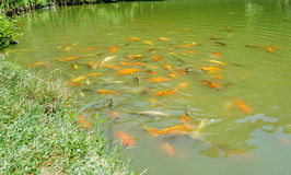 A fish pond. A pond with the beautiful colorful fishes Royalty Free Stock Photo