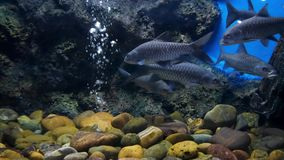Fish in the pond eating foodBeautiful fish in the aquarium on decoration of aquatic plants background. Beautiful fish in the aquarium on decoration of aquatic stock video footage