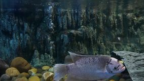Fish in the pond eating foodBeautiful fish in the aquarium on decoration of aquatic plants background. Beautiful fish in the aquarium on decoration of aquatic stock footage