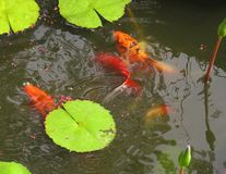Fish in a pond feeding. Koi and Goldfish feeding in a pond with waterlily pads Royalty Free Stock Images