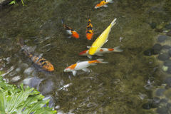 Fish in the pond. Stock Photos