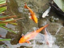Fish Pond, Koi, Fish, Fauna