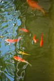 Fish in pond Stock Image