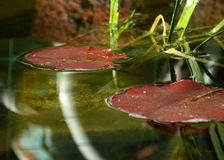 Fish Pond Lily Pads. Couple of lily pads from a local fish pond with nice reflections. Shallow depth Royalty Free Stock Image