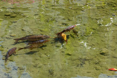 Fish in the pond with muddy bottoms Royalty Free Stock Images