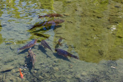 Fish in the pond with muddy bottoms Royalty Free Stock Photos