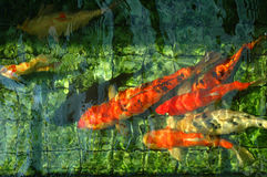 Fish Pond Study. Koi or carp swimming in a fish pond - the light and the colours of the tiles in the pond, with the water, provide an interesting texture/ Stock Images