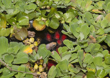 Fish in Pond. Fish surfacing in a pond covered in water lilies looking for either food or possibly oxygen as the water may be low in oxygen and nutrients royalty free stock photos