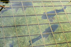 Fish in pond with water reflection seen in park stock photography
