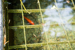 Fish in pond with water reflection seen in park stock photo
